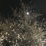 相模原の夜桜と月