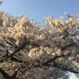 相模原市早朝の桜