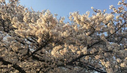 【桜の季節】朝昼の散歩。写真を撮りたくなる美しさ。【神奈川県相模原市】