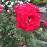 相模原北公園の紅いバラ