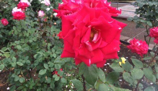 【ファミリーで】5月中旬の相模原北公園。バラの咲く季節はココがオススメ。【2人で】