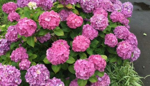 【6月の花】アジサイを見に行こう。相模原北公園がオススメ! 近くに温泉もあるよ。【神奈川県】